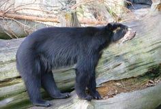 10戴了眼镜的熊 免版税库存图片