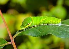 10条毛虫绿色叶子 免版税库存图片