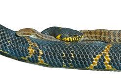 10条蛇二 库存图片