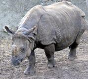 10极大的印第安犀牛 免版税库存照片