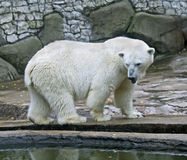 10极性的熊 库存图片