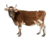 10棕色母牛泽西老年 免版税库存照片