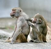 10狒狒 库存图片