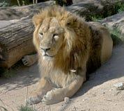 10狮子 库存图片