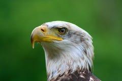 10白头鹰 免版税图库摄影