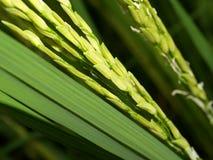 10绿色米 库存图片