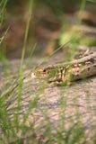 10蜥蜴 免版税库存图片
