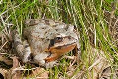 10青蛙 免版税库存图片