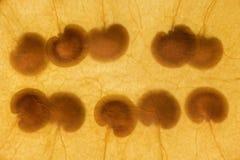 10颗种子 图库摄影