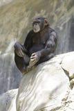 10黑猩猩 库存照片