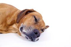 10 år för male rhodesian ridgeback för hund sova Royaltyfri Foto
