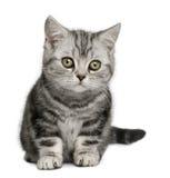 10 βρετανικά μηνών γατακιών shorthair Στοκ εικόνα με δικαίωμα ελεύθερης χρήσης
