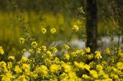 10 λουλούδια λάχανων Στοκ Εικόνες