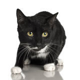 10 μαύροι μήνες γατών Στοκ Εικόνα