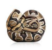 10 μηνών python βασιλικών νεολαιώ&nu Στοκ Εικόνες