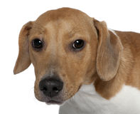 10 στενά μικτά σκυλί μηνών διασταύρωσης επάνω Στοκ Εικόνα