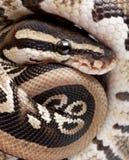 10 στενές βασιλικές επάνω νεολαίες μηνών python Στοκ φωτογραφία με δικαίωμα ελεύθερης χρήσης