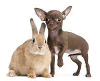10 неделей кролика щенка чихуахуа старых Стоковое Изображение