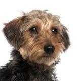 10 поднимающих вверх близких месяцев dachshund старых Стоковое Фото