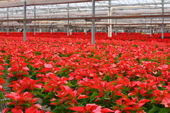 10,000 Red Poinsettia Flowers Royalty Free Stock Photography