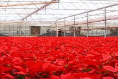 10,000 Red Poinsettia Flowers. Tens of thousands of Red Poinsettia flowers occupy this greenhouse royalty free stock photos