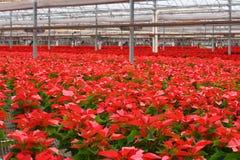 10.000 rote Poinsettia-Blumen Lizenzfreie Stockfotografie