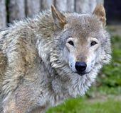 10狼 免版税库存照片