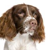 10个英国月西班牙猎狗蹦跳的人 免版税库存图片
