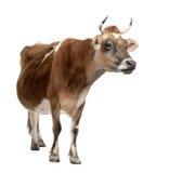 10 ans du Jersey de vache brune vieux Photo stock