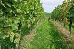 10 baden холмистый виноградник Стоковые Изображения RF
