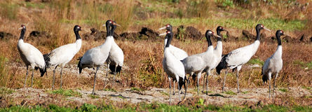 10 black-necked cranes Stock Photos