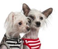 10 e 18 mesi crestati cinesi dei cani, Immagini Stock Libere da Diritti