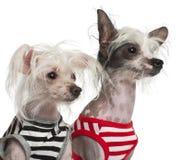 10 e 18 mesi crestati cinesi dei cani, Immagine Stock