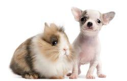 10 för valpkanin för chihuahua gammala veckor Arkivfoto