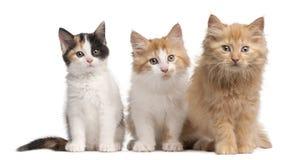 10 gammala shorthairveckor för europeiska kattungar Royaltyfri Bild