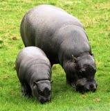 10 hipopotamów pigmej Obrazy Royalty Free