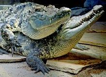 10 krokodil siam Arkivbild
