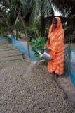 10 millions de plantation d'arbre dans Sunderban Photos stock