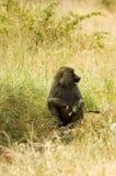 10 olive baboons Arkivfoto