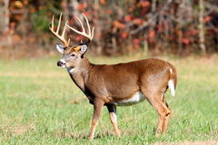 10 point buck Stock Photography