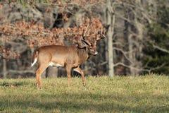 10 Point Buck Stock Photo