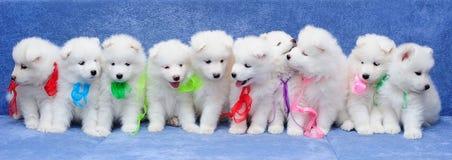 10 Samoyedhundewelpen Stockfotos