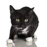 10 svarta kattmånader Fotografering för Bildbyråer