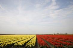 10 tulipan pola Obraz Stock
