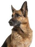 10 w górę rok zakończenie baca psia niemiecka stara zdjęcia stock
