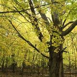 100棵槭树国君老年 库存照片