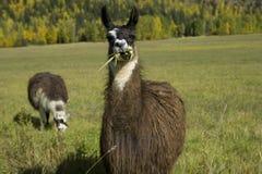 100 due lama in un campo Fotografie Stock Libere da Diritti