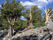 1000刺毛锥体更旧的杉木年 免版税图库摄影