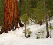 101巨型美国加州红杉 图库摄影