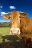 1032母牛 库存照片